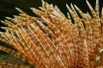Radioles of marine worm Sabellastarte magnifica