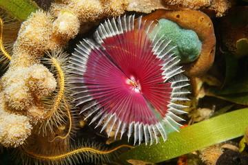 Sea life Anamobaea oerstedi marine worm