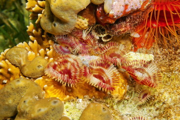 Several marine worms split-crown feather duster