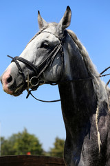 Head shot of a racehorse during dressage test