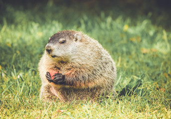 Chubby and cute Groundhog (Marmota Monax) sitting up on grass and dandelion field eating a carrot and looking in vintage garden setting