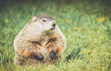 Chubby and cute Groundhog (Marmota Monax) sitting up on grass and dandelion field with mouth closed in vintage garden setting