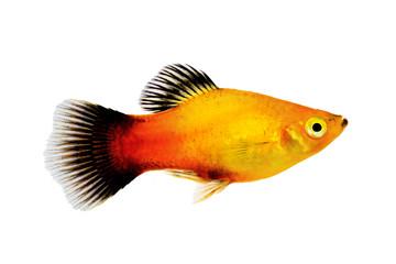 sunburst platy male Xiphophorus maculatus tropical aquarium fish