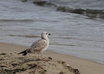 Чайка на берегу моря