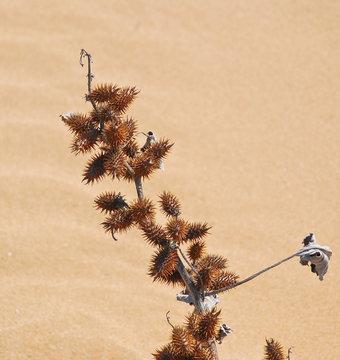 Xanthium strumarium or rough cocklebur dry (thorn)