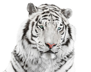 Wall Mural - Elegant white tiger