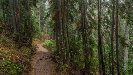 A path in the thick spruce forest. BLUE LAKE TRAIL, Washington state