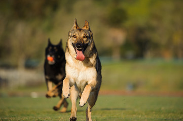 Two German Shepherds running against each other out in front