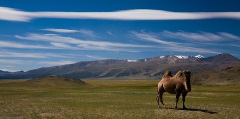 Camel in mongolian desert
