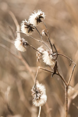 Dead weeds in winter. Natural colors.