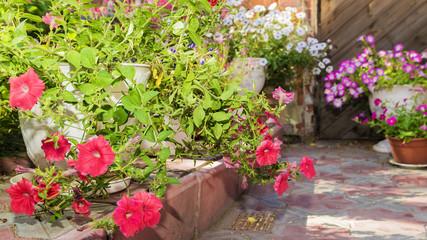 multicolored petunias in pots