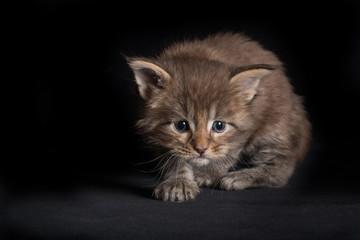 Door stickers Cat Maine Coon kitty