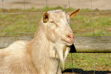 Farm Goat portrait