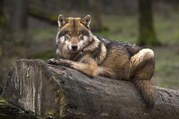 Photo sur Plexiglas Loup Le loup gris