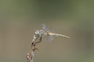 composizione orizzontale colori fotografica di libellula in primo piano vista di profilo appoggiata