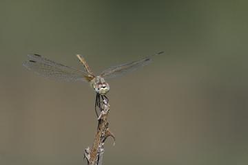 composizione fotografica a colori di un libellula vista in primo piano frontale appoggiata