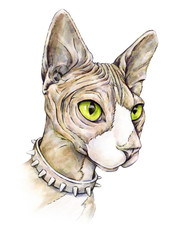 Canadian sphinx in a collar with thorns. Naked cat on a white background. Watercolor drawing