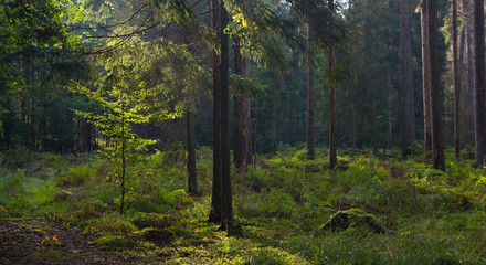 Fototapete - Early autumn morning in the forest