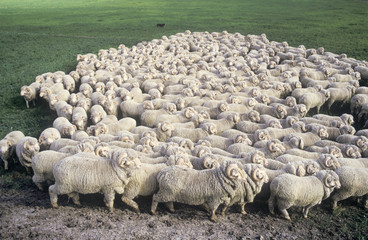Wall Mural -  stud merino sheep at a New South Wales farm.