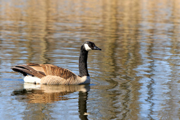 Color DSLR stock image of a Canadian Goose swimming on a calm pond. Horizontal with copy space for text
