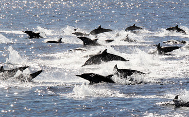 Pacific Common Dolphin Stampede