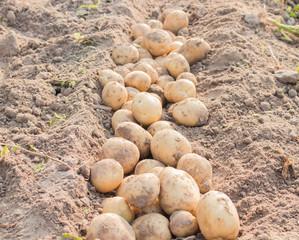 Potato in field