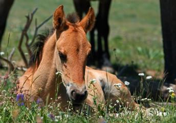 Wild Horse Mustang Buckskin Baby Colt Foal on Pryor Mountain Montana USA