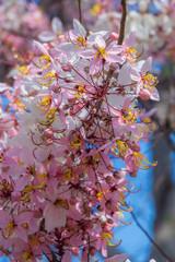 Cassia bakeriana