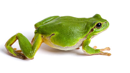 European green tree frog walking isolated on white