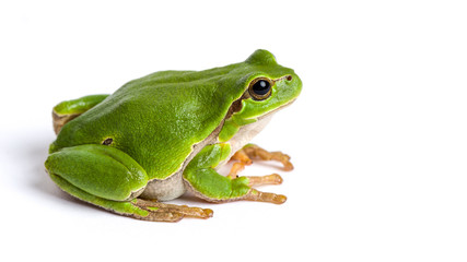 Poster Kikker European green tree frog sitting isolated on white