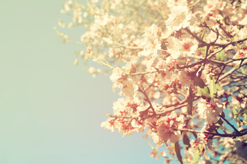 dreamy and blurred image of spring white cherry blossoms tree. selective focus. vintage filtered