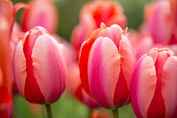 Beautiful bouquet of colorful tulips.