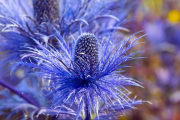 Eryngium oliverianum Sea Holly flower, blue plant close up in the garden