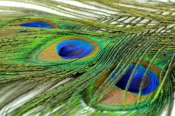Peacock feather texture pattern and color in close-up.