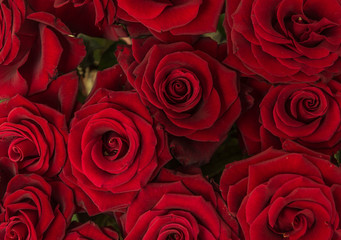 red beautiful roses