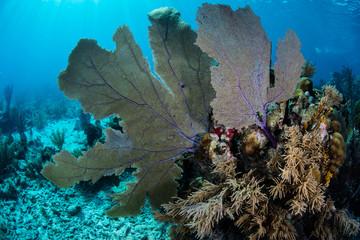 Caribbean Sea Fan Underwater