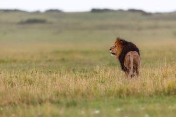Wall Mural - Big Lion Lipstick searching his Rekero Pride in Masai Mara, Kenya