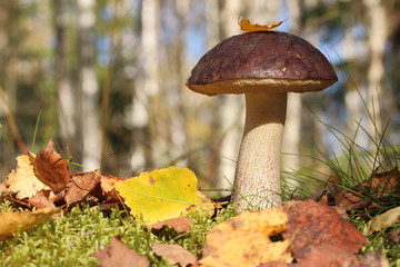 Гриб подберезовик в осеннем лесу