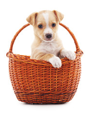 Puppy in a basket.
