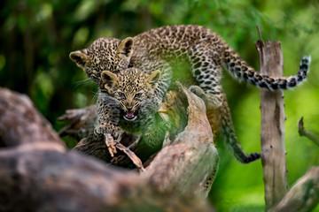 Wall Mural - Leopard cub bites his brother in Masai Mara, Kenya