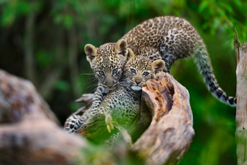 Wall Mural - Leopard cubs (two month) playing on a dry tree in Masai Mara, Kenya