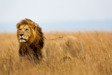 Poster Lion Mighty Lion watching the lionesses who are ready for the hunt in Masai Mara, Kenya
