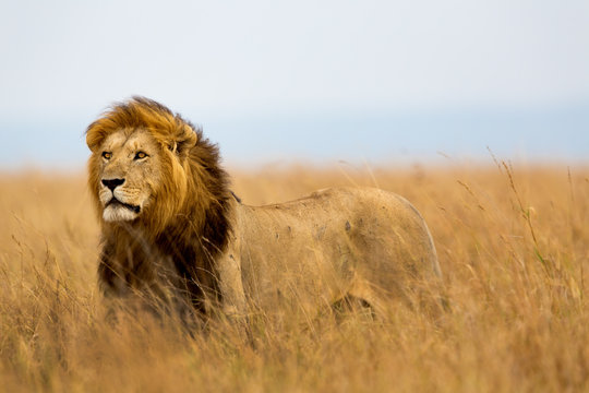 Mighty Lion watching the lionesses who are ready for the hunt in Masai Mara, Kenya