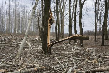 deforestation and demolished tree