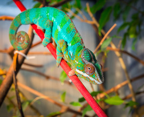 Bright and colorful chameleon sitting on a branch