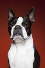 Boston Terrier On red backdrop