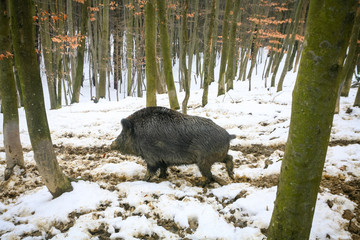 Wild boar in muddy snow