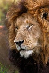 Wall Mural - Portrait of legendary Lion Notch in Masai Mara, Kenya
