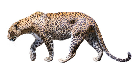 Movement leopard