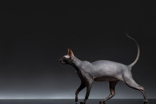 Sphynx Cat Walks on Black Background, Side